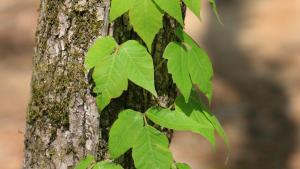 Poison Ivy and Poison Oak - warm weather skin